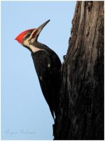 Pileated Woodpecker by Ryser915