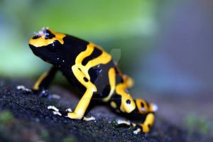 Poison dart frog by Gothic-Enchantress