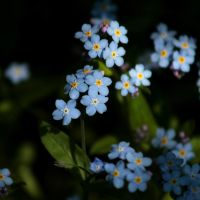 Forget me not II by Freya7
