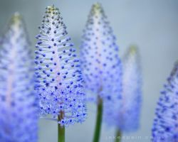Scilla by JakeSpain
