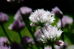 Chive Blossom by Geak-of-Nature