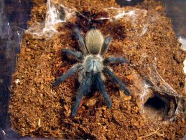 Monocentropus balfouri by Ride-The-Snake