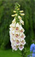 Foxglove Purity by MayEbony