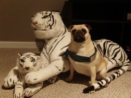 Tigers, and Pugs, Ohmy. by Mistress-Fluffeh