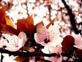 dreaming of a flowering cherry by ilura-menday-less
