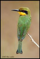 Little Bee-eater by Jamie-MacArthur