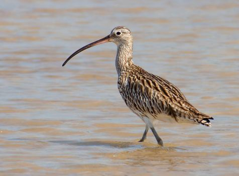 Curlew by Pharmagician