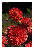 A good day for the dahlias by George---Kirk