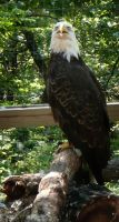 Bald Eagle by Eviecats