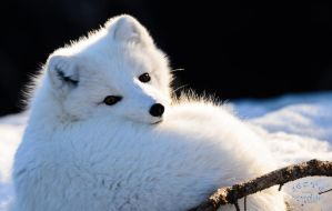 Arctic Fox - At rest by JestePhotography