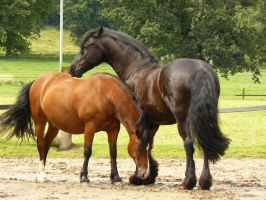 good friends - friesian and bay welsh 02 by Nexu4