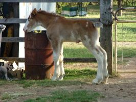 Clydesdale Foal 26 by How-You-Remind-Me