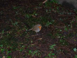 Mr Robin on some grass by wilterdrose
