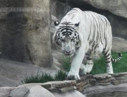 White Tiger II by Amrahelle