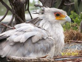 Secretary Bird by ElfOwl245