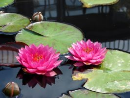 Two Water Lilies by Fugu-5