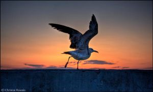 seagull in the sunset by christosR