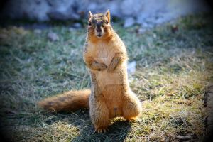 Squirrel by candy691977