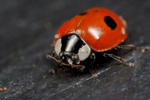 Ladybird with Mites by Alliec