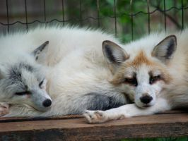 Marble Foxes. by purevintage