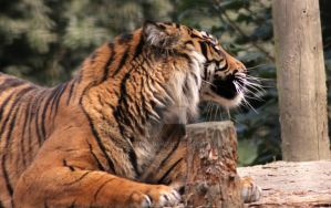 Sumatran Tiger Side View::. by Tebyx