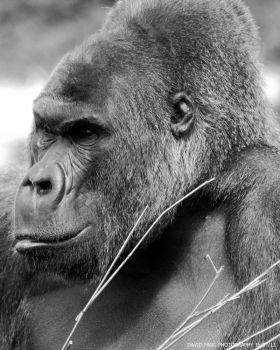 Gorilla Pic by snappy-dave