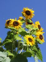 A visit to some sunflowers by KeswickPinhead