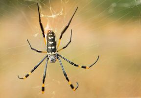 Golden Silk Orb-weaver by Lightkast