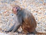 Rhesus Macaque 1 by Jeff59