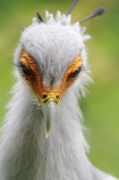 Secretary Bird by SnowPoring