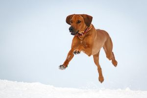 Flying dog by DeingeL-Dog-Stock
