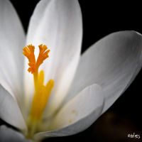 Crocus by rdalpes