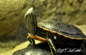 I Love Being a Turtle by helvainia