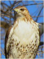 Juvenile Redtail Close by SuicideBySafetyPin