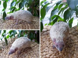 Hedgehog Tenrec Lifesize Mount SOLD by DeerfishTaxidermy