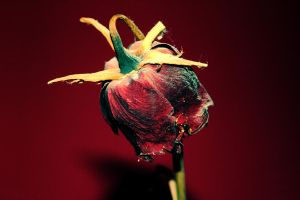 no rose without a thorn by mukkelchen