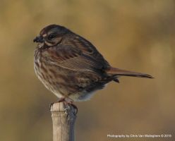Song Sparrow Garden Visit by vanwaglajam