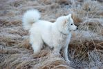 My samoyed dog by IdaSP