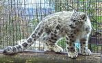 Snow Leopard Stock 29: Cub by HOTNStock