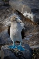 Blue-footed Booby by DPaZZa