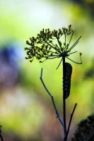 caterpillar on dill by Mrs-Mims