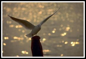 Seagull in gold light by kanes