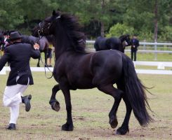 STOCK - Friesian Show 2012-89 by fillyrox