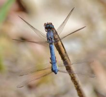 Dassia dragonfly August 2014 8 2 by melrissbrook