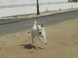 White Dog Running with a Stone by SunnyDBoy