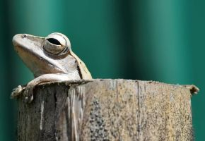 Frog in Bamboo II by nordfold