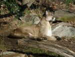 NC Zoo Cougar 3 by PanzerschreckLeopard