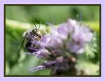 Bee on Lacy Phacelia by reenaj