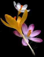 Crocus Style by Althytrion