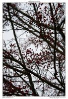red berries on tree by yellowcaseartist